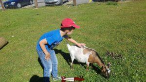 Une chèvre au juraparc à vallorbe