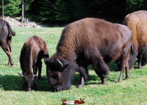 Bisons au zoo du juraparc à vallorbe