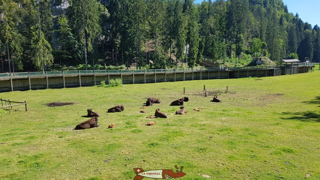 Le parc des bisons avec au loin le chemin surélevé emprunté par les visiteurs au juraparc