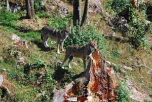 Loups au zoo du juraparc à vallorbe
