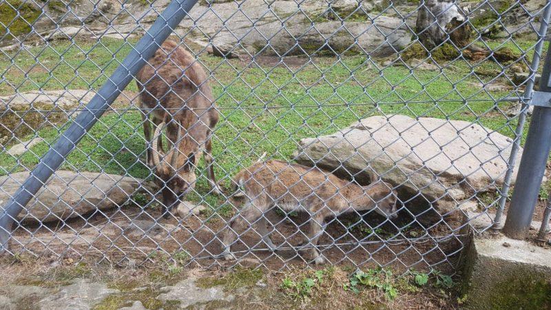 Des animaux de nos régions au zoo des Marécottes. Le zoo est attenant à une jolie piscine encastrée dans le rocher et ouverte en été.