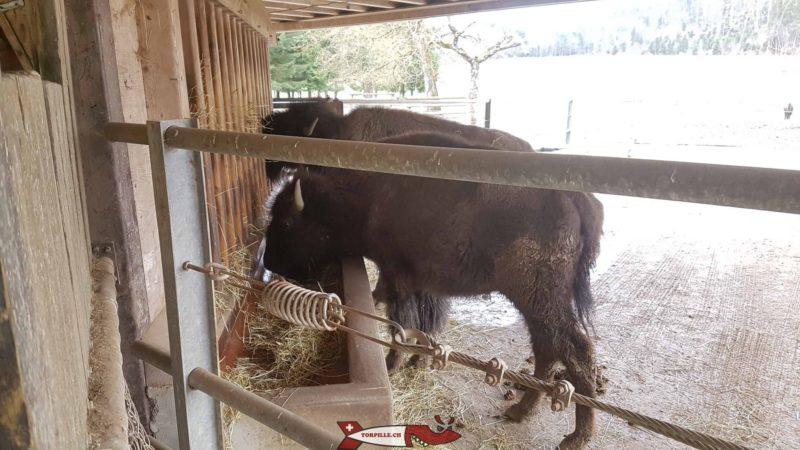Bison d'Amérique au zoo de Servion