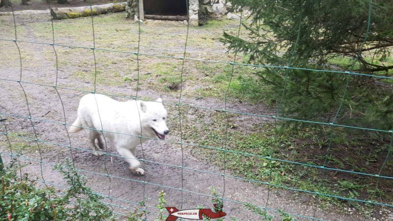 Loup blanc au zoo de Servion