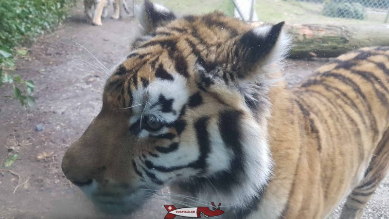 The famous tigers of the Servion zoo, here visible from close up through the glass walls during their meal.