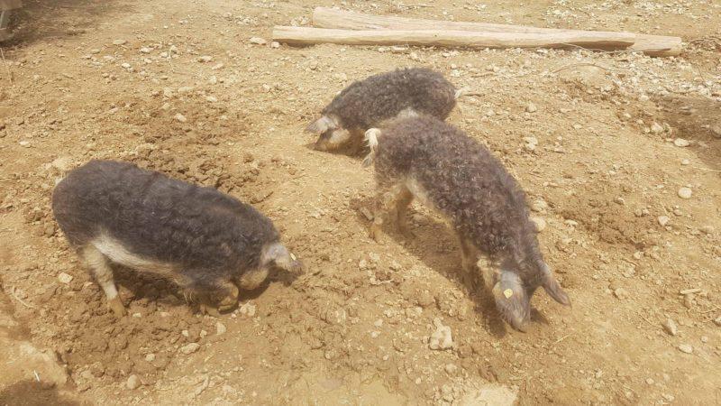 Sangliers au zoo de la garenne