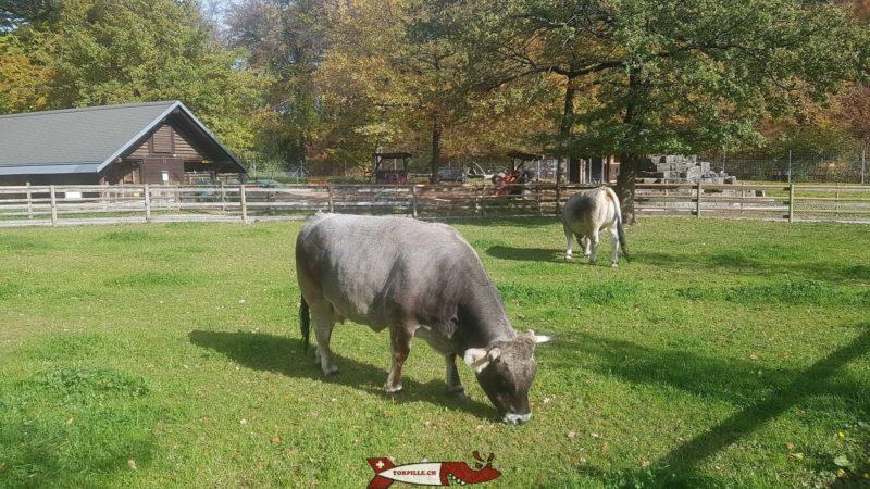 Vaches grises rhétiques au parc animalier de Sauvabelin