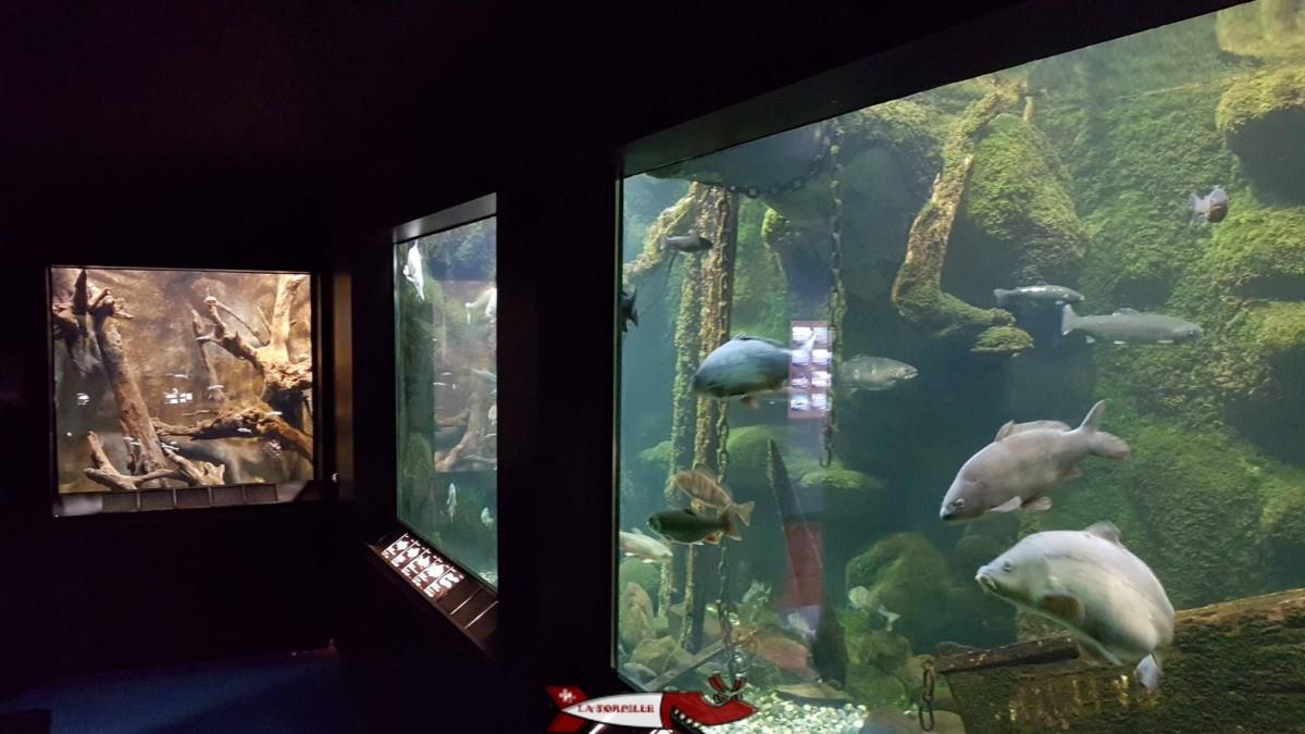 Les cinq aquariums du musée du Léman.