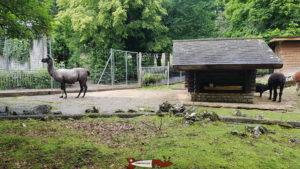 Des lamas au zoo du bois du petit-chateau