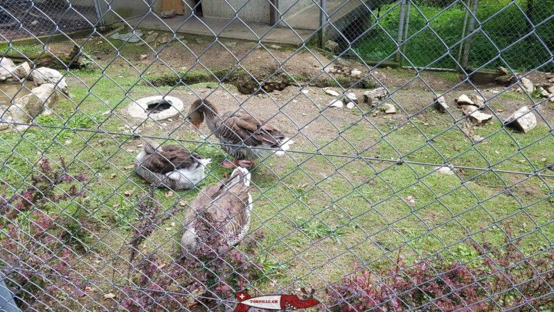 Des oies au zoo du bois du petit-chateau