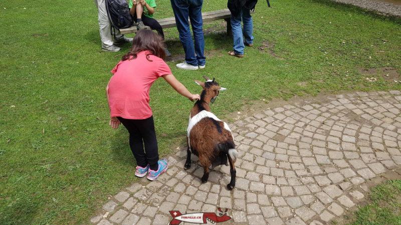 Un espace permettant l'interaction des enfants avec des chèvres au zoo du bois du petit-chateau