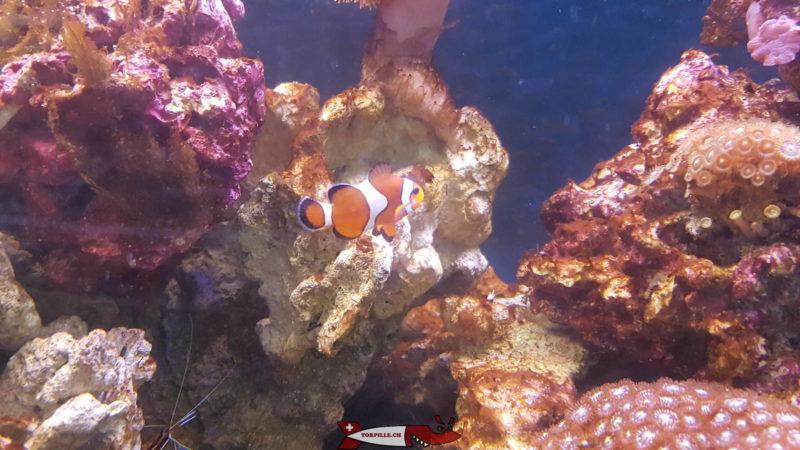 Un poisson-clown dans un aquarium au vivarim du zoo du bois du petit-chateau