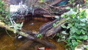 Un petit crocodile au vivarium du zoo du Bois du Petit-Château.