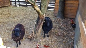 black sheep at the Gavotte's farm