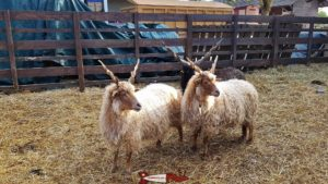 racka sheep at the Gavotte's farm