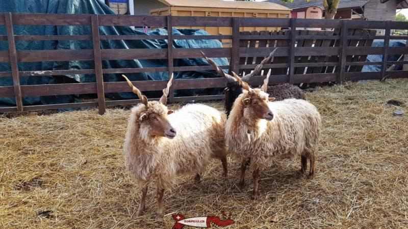 moutons racka à la ferme de la Gavotte