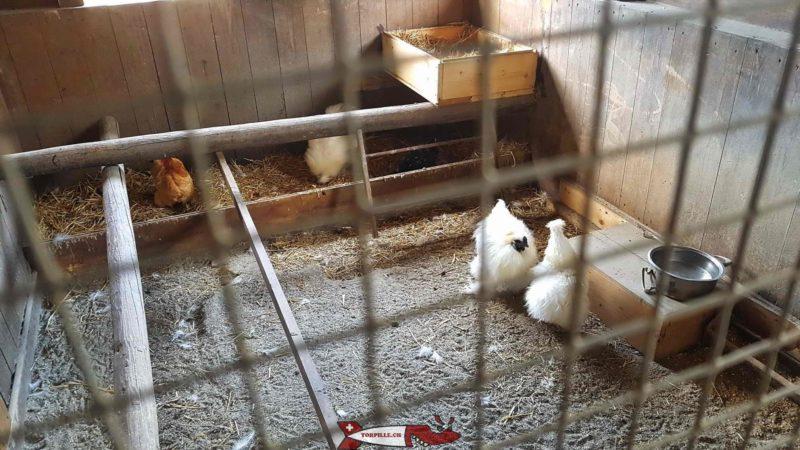 Poules à la ferme de la Gavotte