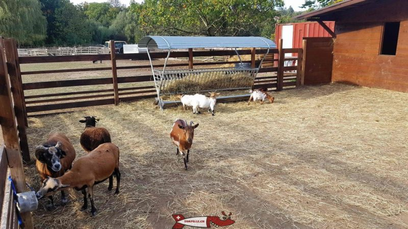Goats at the Gavotte's farm