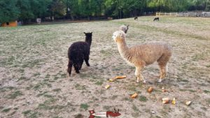 Llamas and Alpacas at the Gavotte's farm