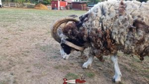 Jacod sheep at the Gavotte's farm