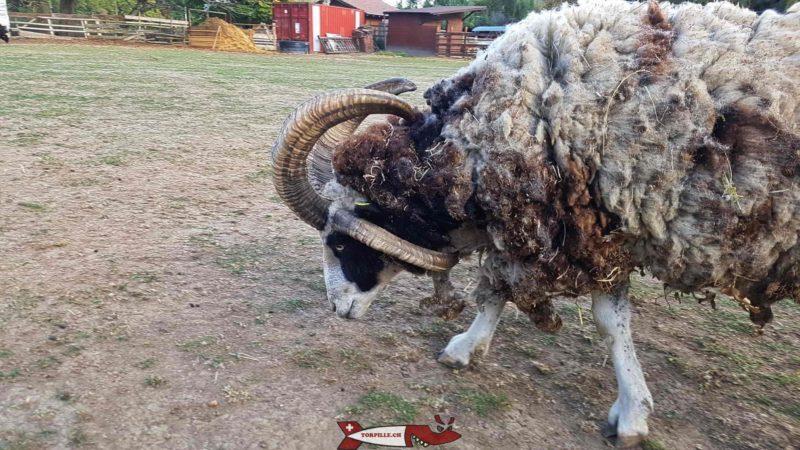 Moutons Jacod à la ferme de la Gavotte