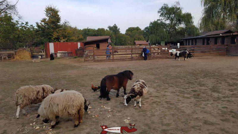 le grand parc de la ferme de la Gavotte avec les poneys, ânes et moutons