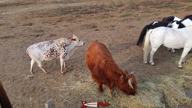 Zébus et vaches Highland à la ferme de la Gavotte