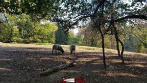 mouflons à la ferme de la fondation CSC à Saint-Barthélémy