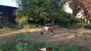 Dwarf horses at the CSC Foundation farm in Saint-Barthélémy