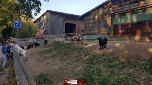Chèvres naines à la ferme de la fondation CSC à Saint-Barthélémy