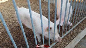 Pigs on the CSC Foundation farm in Saint-Barthélémy