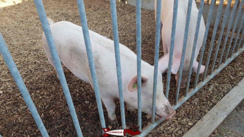 Cochons à la ferme de la fondation CSC à Saint-Barthélémy