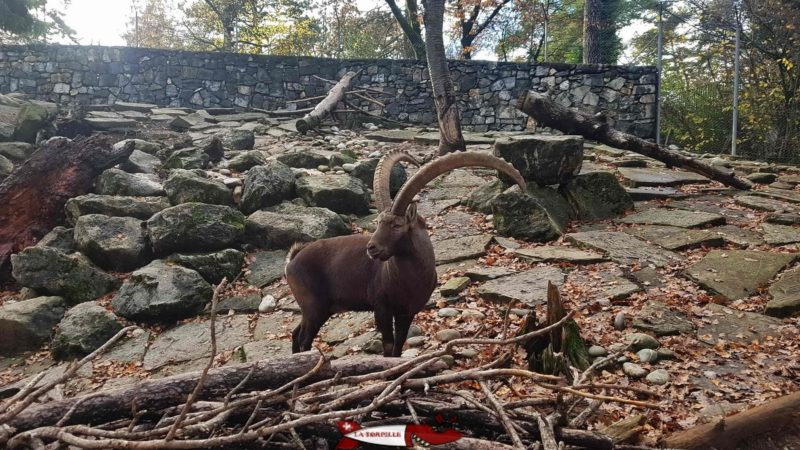 a ibex in his enclosure at the batie woods zoo