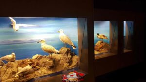 Birds of regional fauna on the ground floor of the Geneva Museum of Natural History