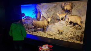 Des mammifères de la faune régionale au rez du musée d'histoire naturelle de Genève