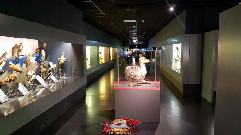 Reconstitution du fameux Dodo de l'île Maurice au premier étage du musée d'histoire naturelle de Genève