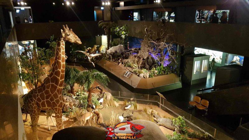 Vue sur la zone des grands mamifères exotiques au musée d'histoire naturelle de genève