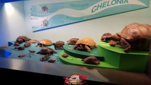 tortues présentés au deuxième étage du muséum d'histoire naturelle de Genève