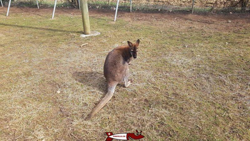 wallaby au parc challandes