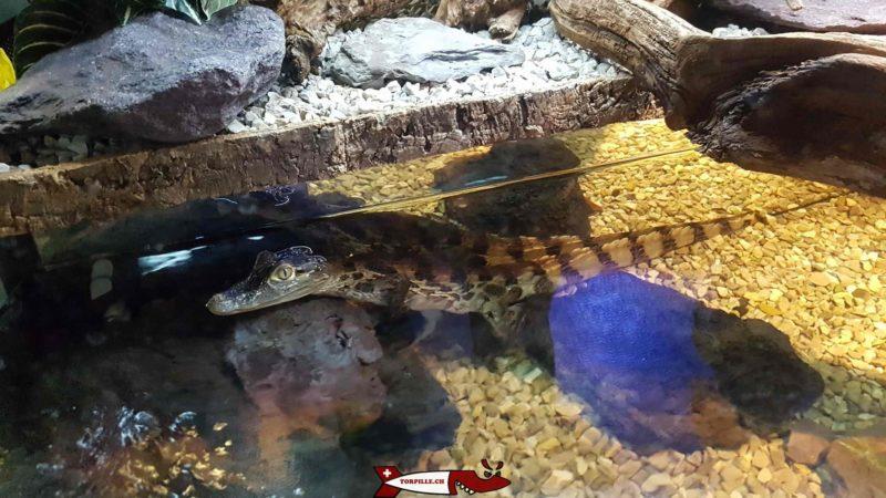 Crocodiles at meyrin's vivarium