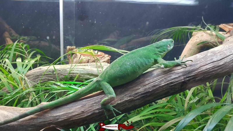 Lizards at the meyrin vivarium