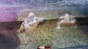 Les tortues au vivarium de meyrin