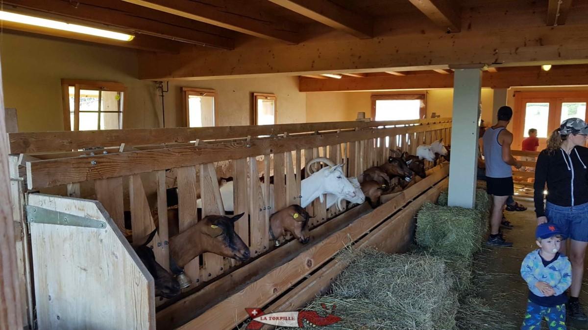L'arrivée des chèvres à l'étable.