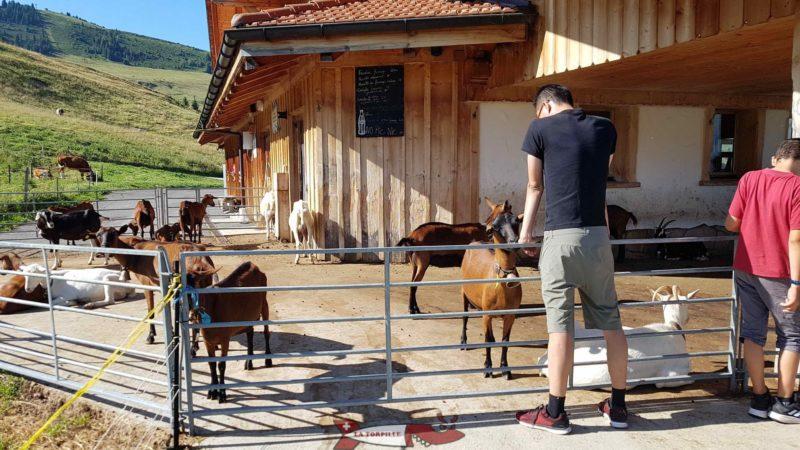 Après la traite, les chèvres se dirigent dans un petit parc à l'extérieur.