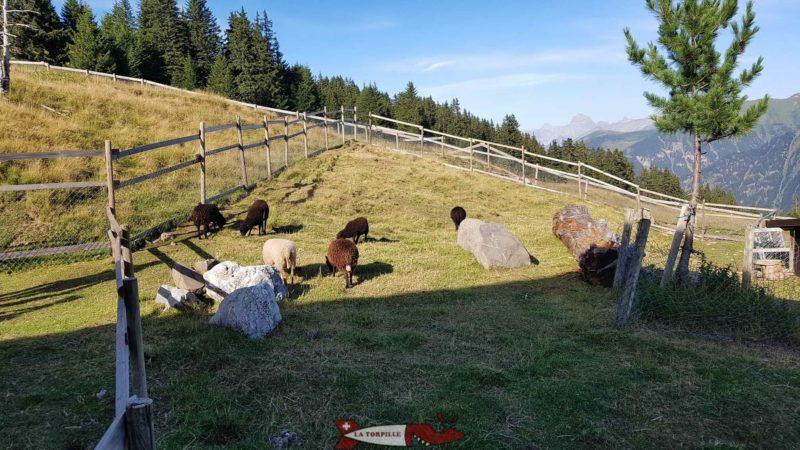 moutons au relais panoramique des Crosets