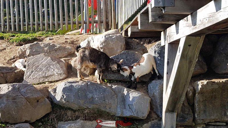 chèvres au relais panoramique des Crosets