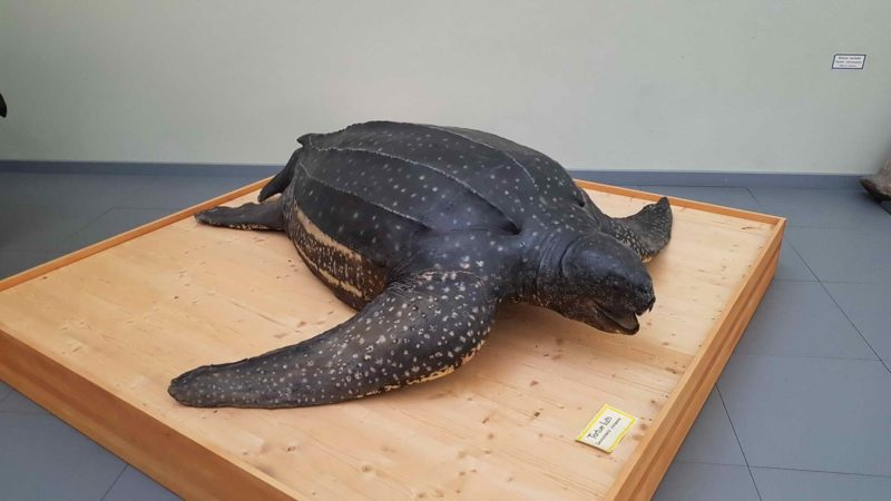A Luth turtle, the largest turtle species on earth.