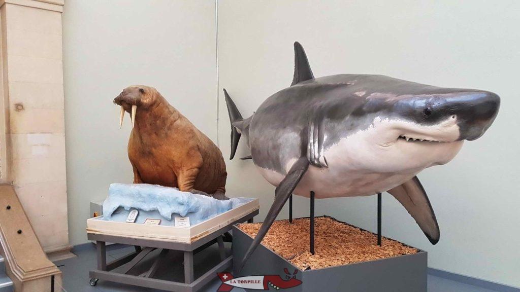 Le fameux requin blanc, star du musée.