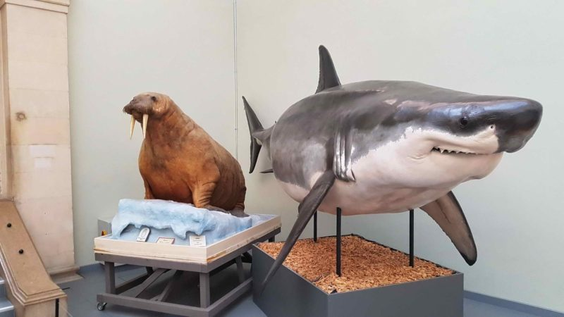 The famous white shark, star of the museum.