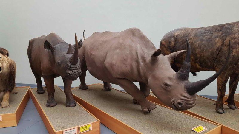 Two rhinos.