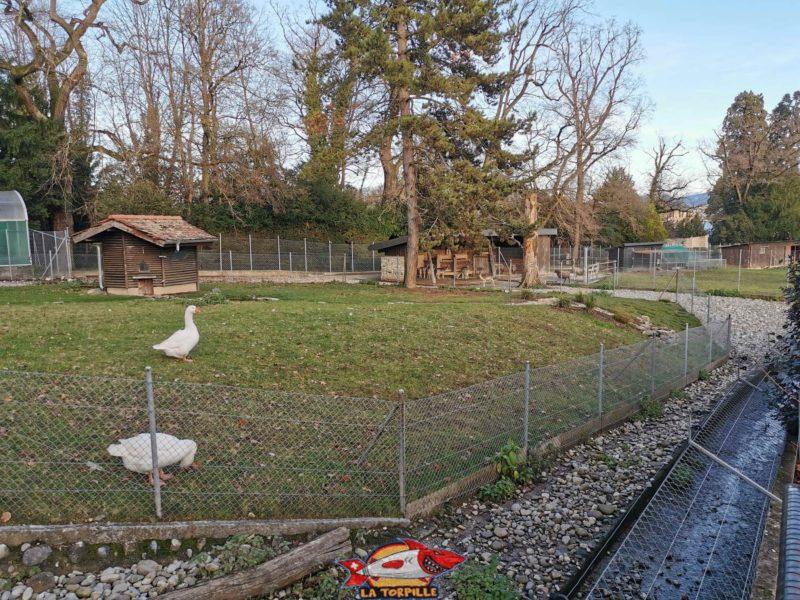 Des oies. jardin botanique geneve